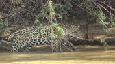 пантеры : Huge female jaguar moves along the bank of the Cuiab? river, Pantanal, Brazil.