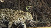 пантеры : Female jaguar moves along the bank of the Cuiab? river, Pantanal, Brazil.