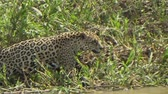 トランス : Female jaguar moves along the bank of the Cuiab? river, Pantanal, Brazil.