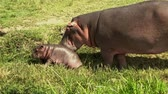 suaygırı : Rare scene showing a female hippopotamus with her baby feeding off the water, Kazinga channel, Uganda. Stok Video