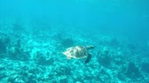 Sea turtle going up for a short breath and going back down Stok Video