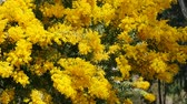акация : Spring yellow acacia tree in the park. Barcelona, Spain