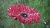 gerbera : Red daisy gerbera flower with waterdrops in the rain