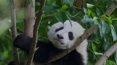 giant panda : Cute and funny baby panda relaxing on a tree at a zoo in China. 4K, UHD.