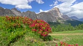 dolomites : Bushes with beautiful pink flowers in the foreground. Gimbal shot of Alps, Italy. 4K, UHD