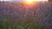 perfumy : Panning close-up shot of lavender field in the sunset rays. Provence, France. 4K, UHD