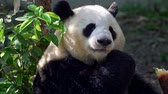 giant panda : Adult panda thoroughly chewing bamboo. 4K, UHD Stock Footage