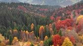 titrek kavak : Autumn concept. Aerial shot of multi-colored coniferous pine trees in autumn misty mountains. Stok Video