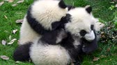 giant panda : Three baby pandas playing and fighting with each other on the green grass. UHD