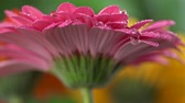 sedmikráska : Waterdrops falling onto a pink daisy. Crystal clear drops of water slowly falling from above onto trembling petals of a very beautiful pink daisy (gerbera) flower. Slow motion close-up shot