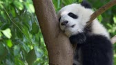 giant panda : Noon sleep of the baby panda sitting on a tree with green lush flora in the background. 4K Stock Footage