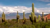кактусы : Time lapse of big green cacti with mountains and clouds on background. Los Cardones national park, Salta, Argentina. UHD 4K