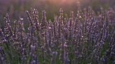 herb : Bee sitting on and flying by purple lavender flowers lit in the afternoon sun in Provence, France. UHD 4K