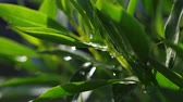 tallo : Large waterdrops falling from above onto green leaves of a plant seen in the bright sun. Slow motion shot Archivo de Video