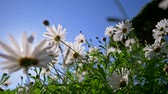 rumianek : Field of white daisy flowers swaying on the wind. Blue sky background