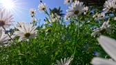 mnoho : Camera moving through the summer flowers field of white daisies. Sunny blue sky background. UHD