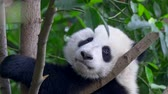 giant panda : Panda baby bear going to sleep on the tree. Panda baby cub sitting in tree Stock Footage