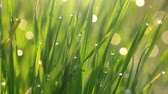 waterdrop : Green grass with waterdrops or dewdrops background. Nature concept in morning sunrise lights