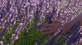 kruidentuin : Female hand slowly and tenderly caressing purple flowers of lavender during a bright sunny day in Provence, France. 4K