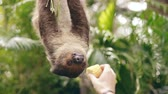 incomum : Human hand feeding sloth with corn in the zoo in national park in Thailand Stock Footage