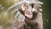 alerta : Hippopotamus eating in pond and people feeding him in zoo in national park