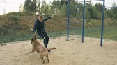 игривый : Young sporty man training with his bullmastiff dog outdoors at park and preparing his pet for competition Стоковые видеозаписи