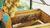 insect : Closeup of beekeeper examining ang cleaning wooden frames in beehive in apiary Stock Footage