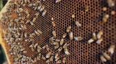 insect : Closeup of bees in honey wooden frames in apiary