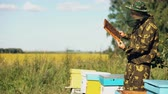 mel : Beekeeper man checking wooden frame before harvesting honey in apiary