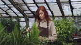 umidade : Attractive female farmer wearing apron is sprinkling plants with water while working inside large greenhouse. Profession, growing flowers, workplace and people concept.