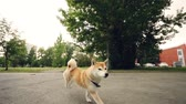 eğlenceli : Dolly shot slow motion portrait of beautiful shiba inu dog running in the park without people and licking its nose. Beautiful trees, lawns and buildings are in background.