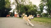 eğlenceli : Slow motion portrait of joyful puppy shiba inu running in the park along path with trees and lawns around it. Training animals, happiness and summertime concept.