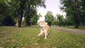 eğlenceli : Dolly shot slow motion portrait of adorable dog shiba inu running in the park along the path then on green lawn enjoying nature and activity. Stok Video