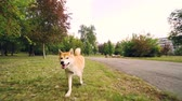 esplêndido : Slow motion portrait of cute shiba inu dog running in park enjoying fresh air and nature. Beautiful trees and lawns, busy city street with cars and buildings is visible. Vídeos