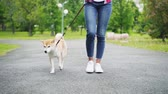 shiba : Slow motion low shot of young woman in jeans walking her adorable small dog in city park. Road, green lawn and trees, jeans and footwear is visible. Stock Footage