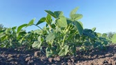 soja : Closeup of soy bean plant in spring with  blue sky HD footage
