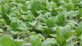 no people : Tobacco plant field in early summer, panning HD footage Stock Footage