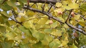 botany : Autumn, leaves and fruit of the ginkgo tree in fall