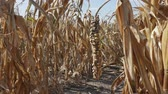 crop loss : Damaged corn plant in field after drought zoom out agricultural footage Stock Footage