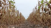 planta : Closeup of soy bean plant in field ready for harvest after drought zoom in video