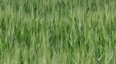 rozs : Green wheat plant in field, late spring, panning HD footage