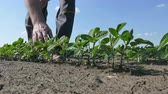 agronomist : Farmer or agronomist examining green soybean plant in field