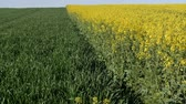 búza : Oil rape, blossoming canola and wheat plants in field, zoom out video, with blue sky in early spring