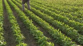 planta : Farmer or agronomist walking in soybean field and examining plants