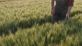 agronomist : Farmer or agronomist walking and inspecting quality of wheat in spring
