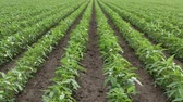 planta : Agriculture, green cultivated soy bean plants in field, zoom in video in spring