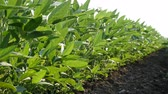 planta : Agriculture, green cultivated soy bean plants in field with breeze blowing,low angle video, spring time