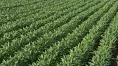 planta : Green cultivated soybean plants in field with wind blowing in spring