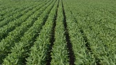 planta : Agriculture, rows of green cultivated soy bean plants in field with wind blowing