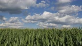 milharal : Green corn field under strong wind, with beautiful sky and clouds, agriculture in spring Stock Footage